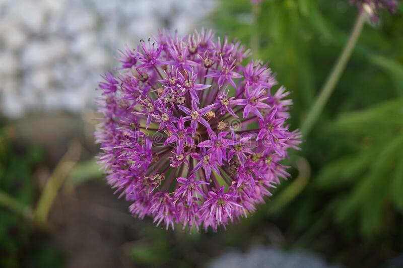 Allium aflatunense `Purple Sensation` is an impressive ornamental onion that impresses with its beautiful flower balls. Berlin stock images