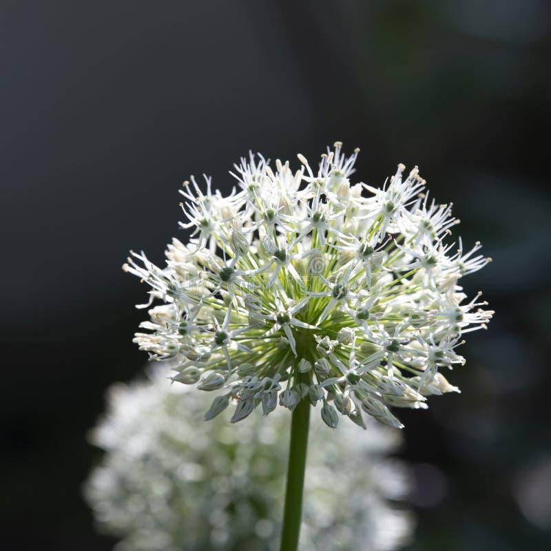 Allium, boule blanche d'allium, lumière du soleil, macro images libres de droits