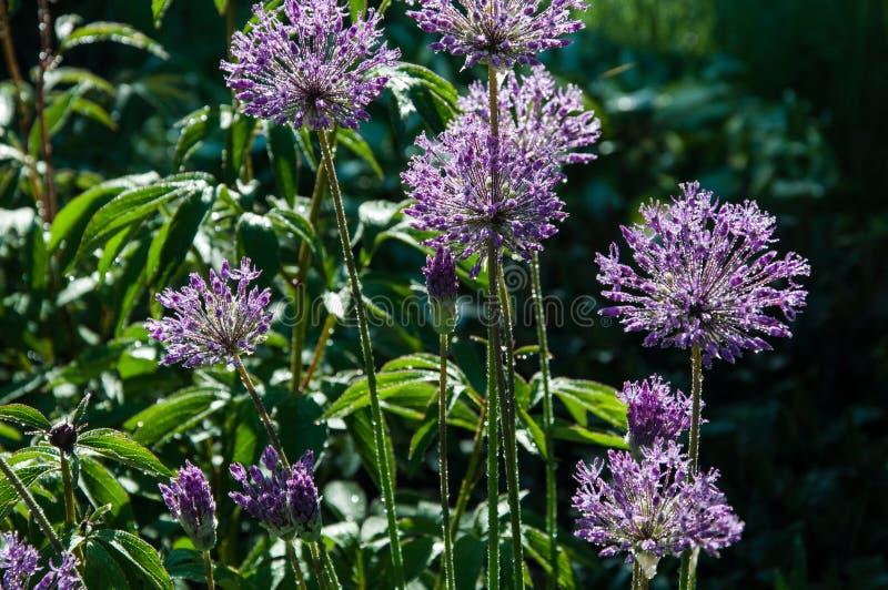Allium brillante imagen de archivo