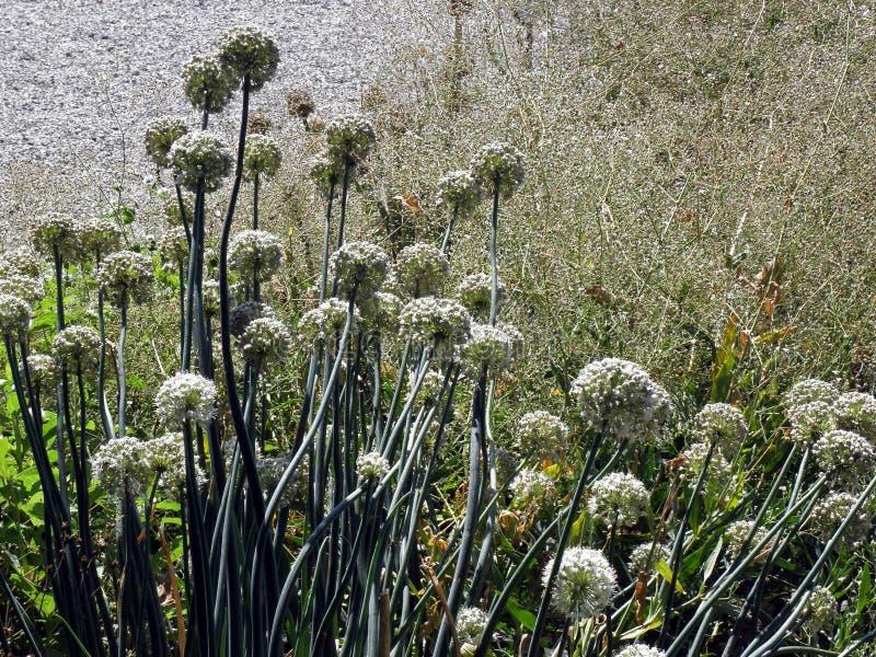 Allium cepa, βοτανικός κήπος του Ζάγκρεμπ στοκ φωτογραφίες