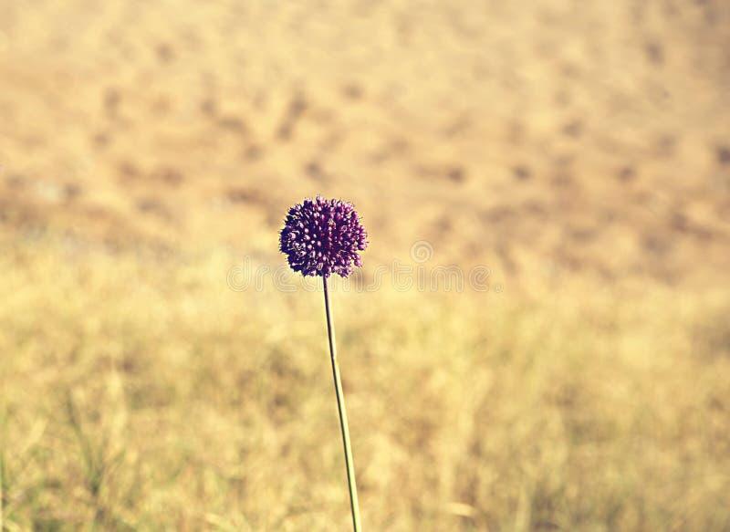 Allium décoratif d'oignon, bisannuel herbacé ou plante vivace du subfamily des oignons avec une grande ampoule, beau backgrou images stock