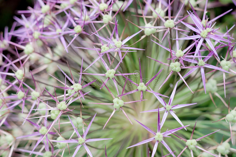 Allium flower closeup. A monocotyledonous flowering plant cultivated in the onion, garlic, chive, shallot and leek species stock photos