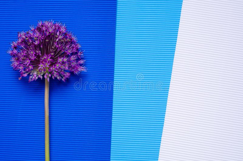 Allium flower on colorful background royalty free stock images