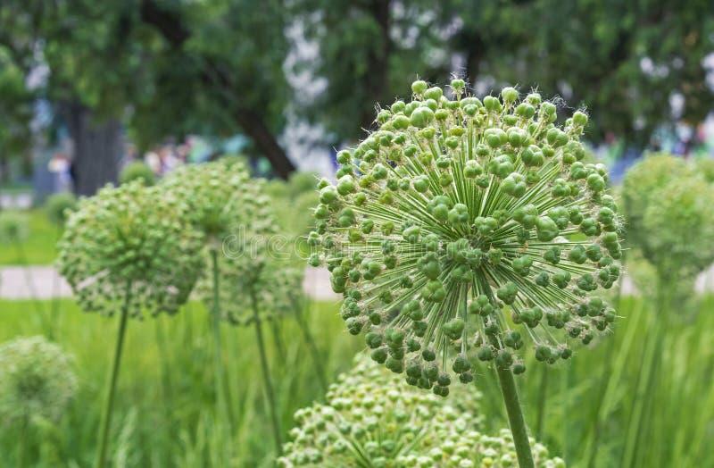 Allium géant Giganteum d'oignons après la floraison Fruits des oignons ornementaux Graines des oignons gigantesques images libres de droits