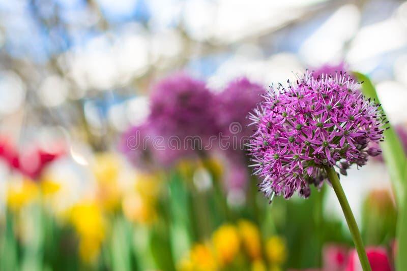 Allium gigante Giganteum que florece, foco selectivo de la cebolla fotografía de archivo
