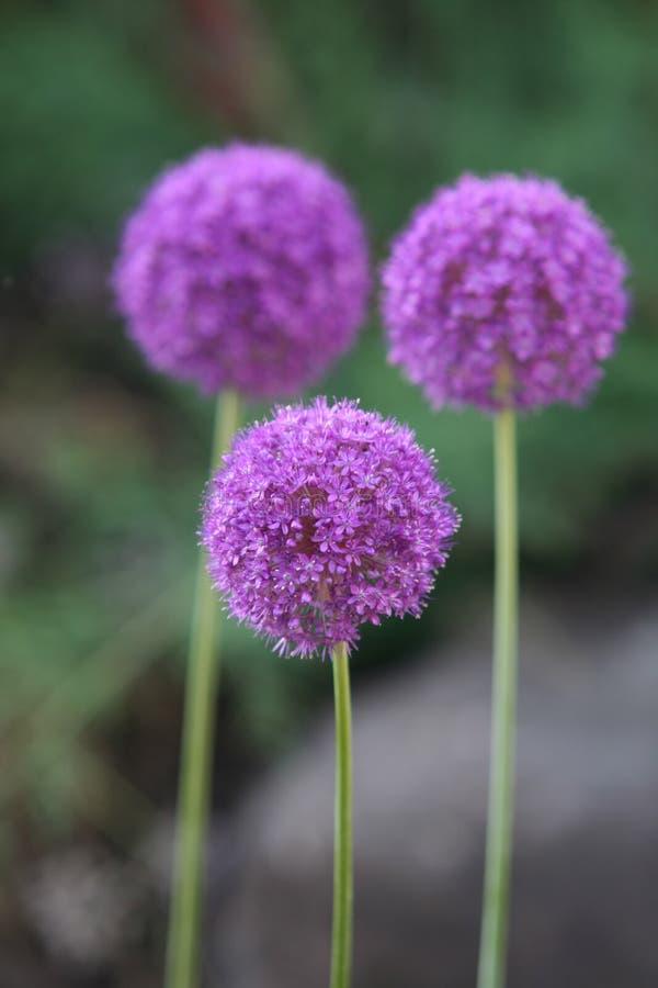 Allium Giganteum imágenes de archivo libres de regalías