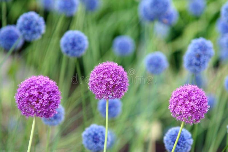 Allium Giganteum stock photo