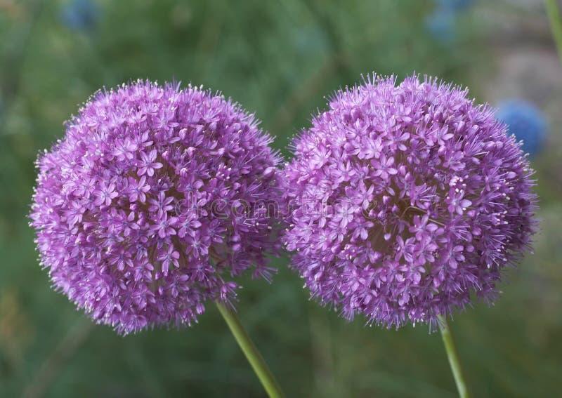 Allium Giganteum royalty-vrije stock foto