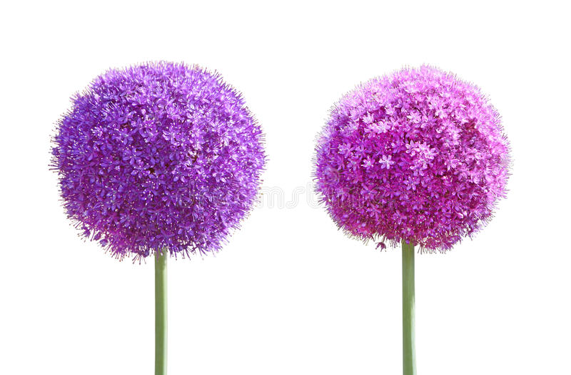 Allium gladiatora kwiatu set obrazy stock