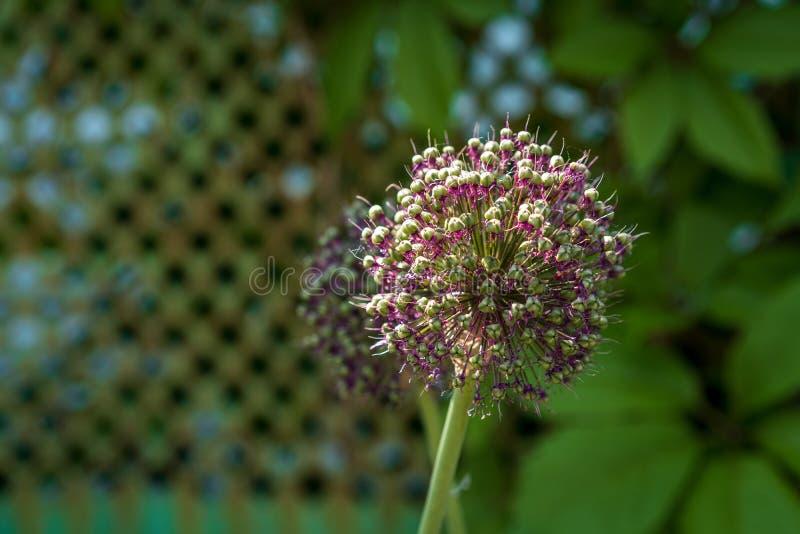Allium hollandicum baldachy z ziarnami w g?r? obrazy royalty free