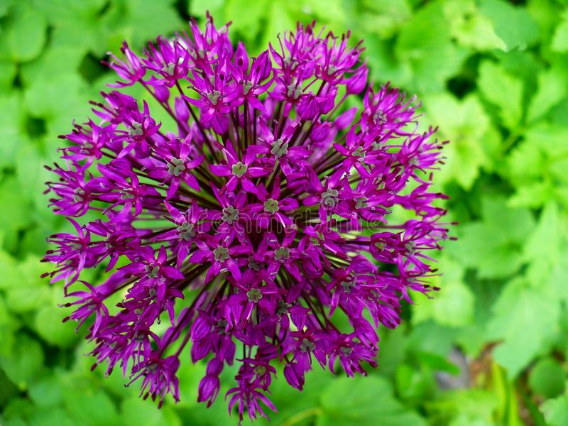 allium kwiat obrazy stock