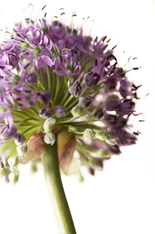 allium kwiat obrazy royalty free