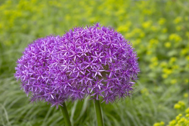 allium kwiaty purpurowy obrazy royalty free