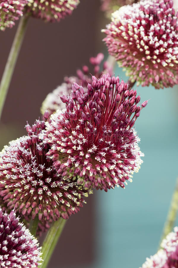 Allium mohican obrazy royalty free