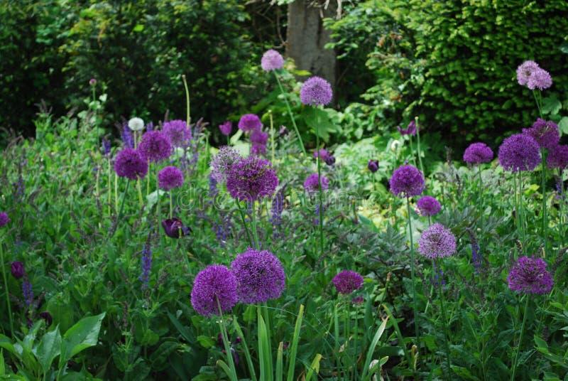 Allium okwitnięcie w ogródzie pustkowie obraz royalty free