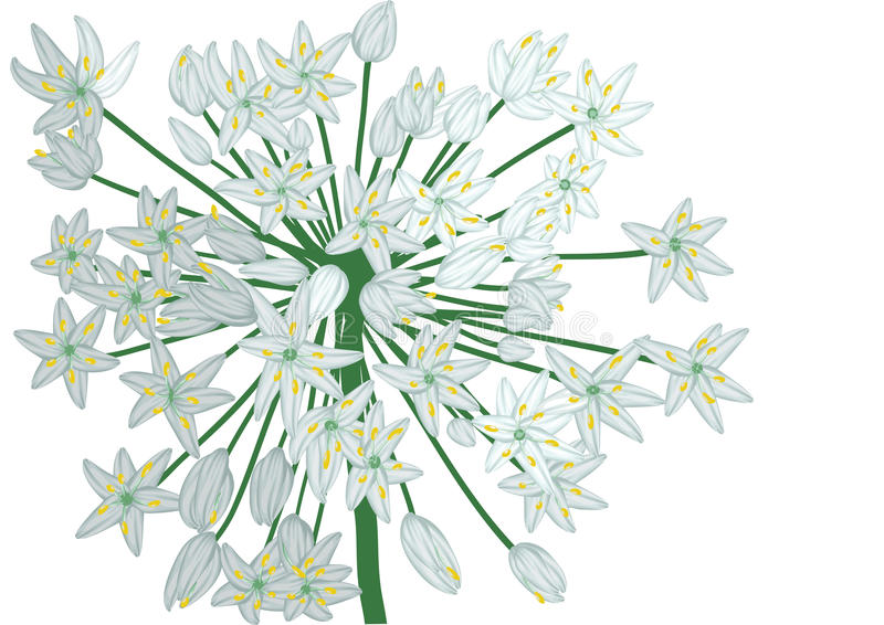Allium op wit vector illustratie