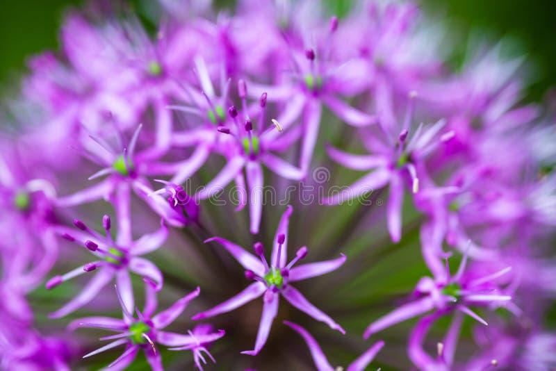Allium ornamental floreciente de la cebolla fotografía de archivo