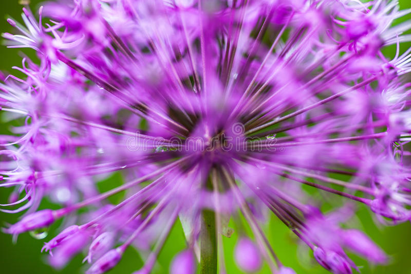 Allium ornamental floreciente de la cebolla fotos de archivo