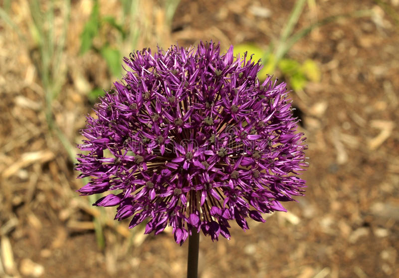Allium porpora immagine stock