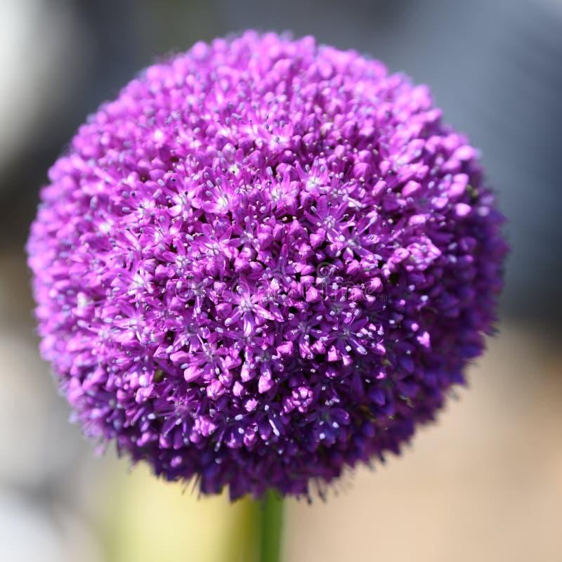Allium, purple allium ball, Allium giganteum - sunlight and blurred background stock photos