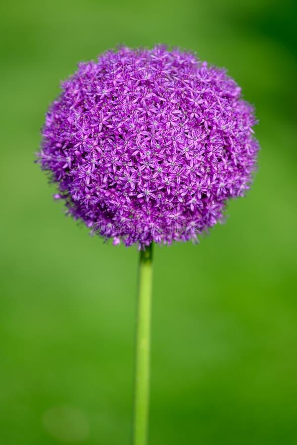 Allium, purple allium ball head, Allium giganteum - sunlight and blurred background stock photo