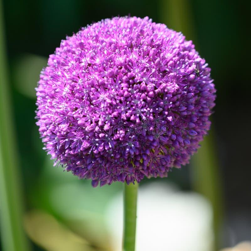 Allium, purple allium ball, sunlight- blurred background royalty free stock photography