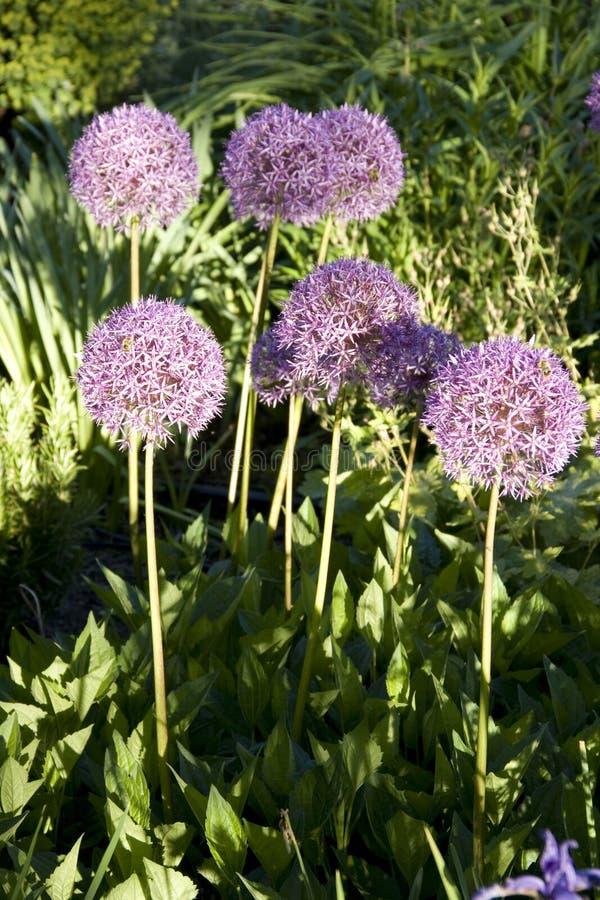 Allium purple round flowers royalty free stock photos