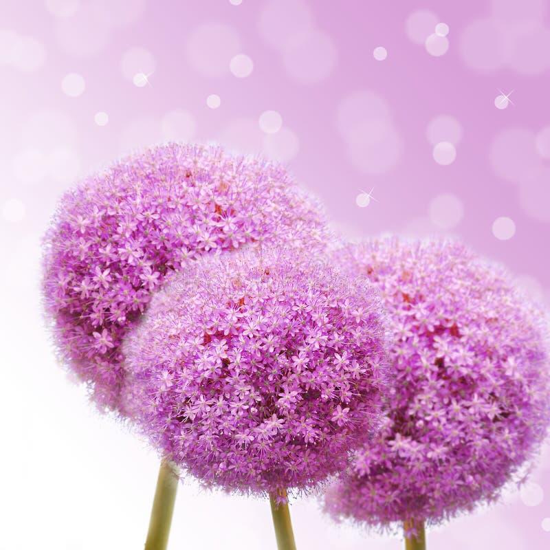 Allium rose image stock