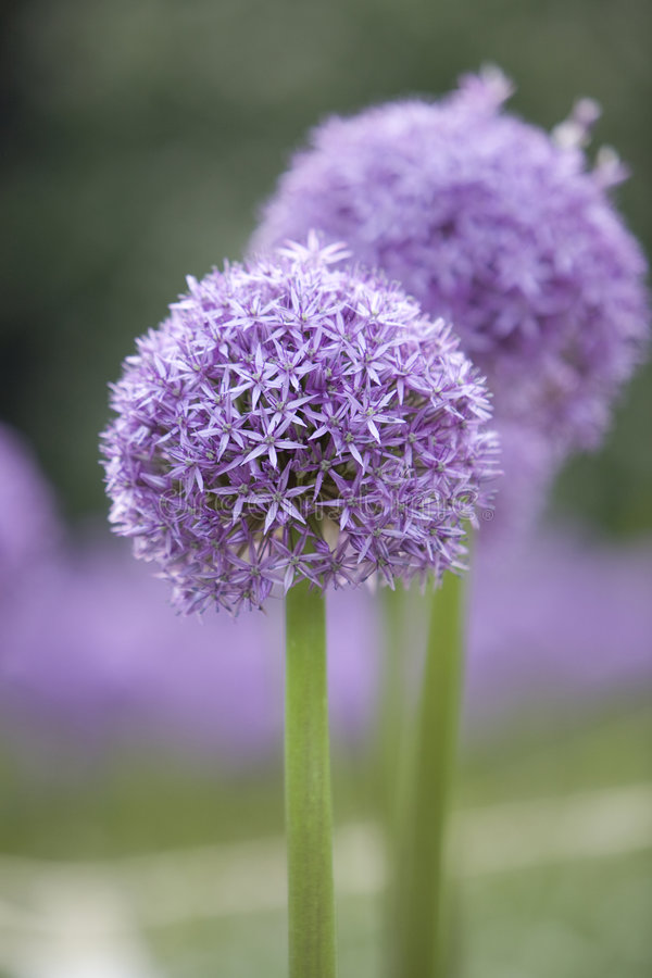 Allium roxo 5 foto de stock royalty free