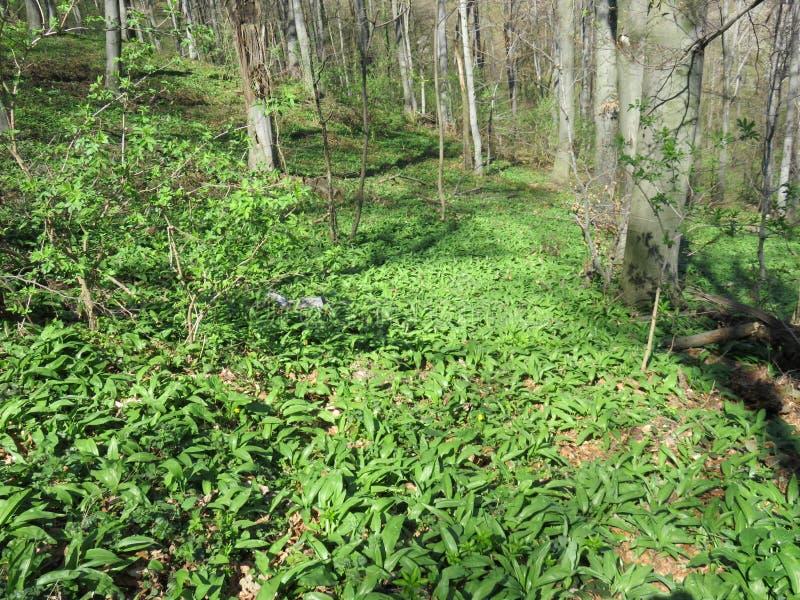Allium sativum leafs nächster Berg Bukulja Serbien lizenzfreie stockbilder