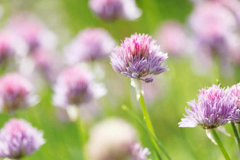 Allium Schoenoprasum stock foto's