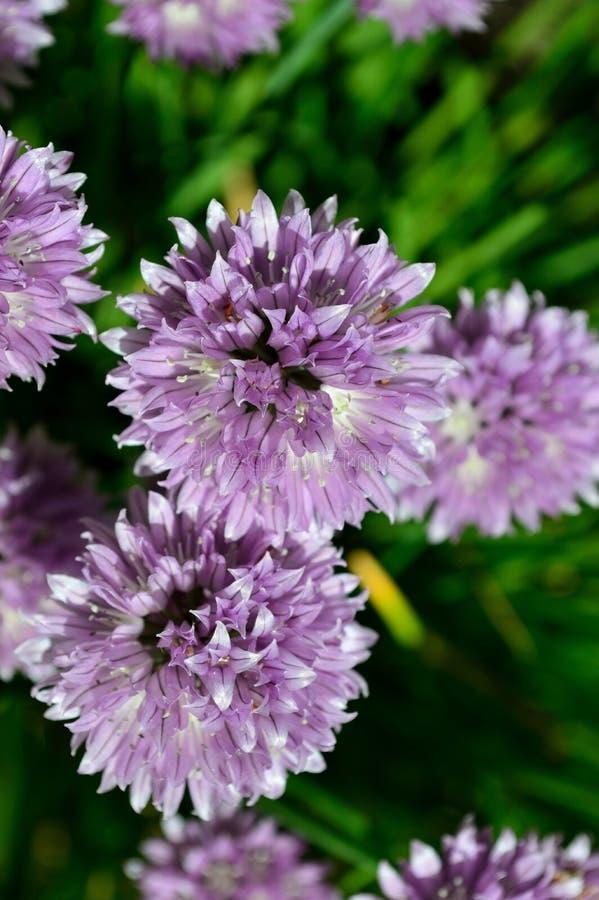 Allium schoenoprasum selvaggio del clloseup- della erba cipollina immagini stock libere da diritti