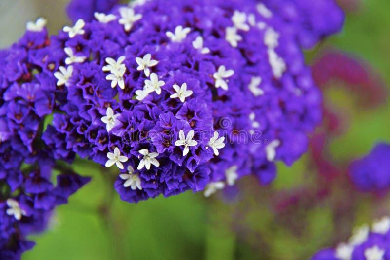 Allium unifolium zdjęcie royalty free
