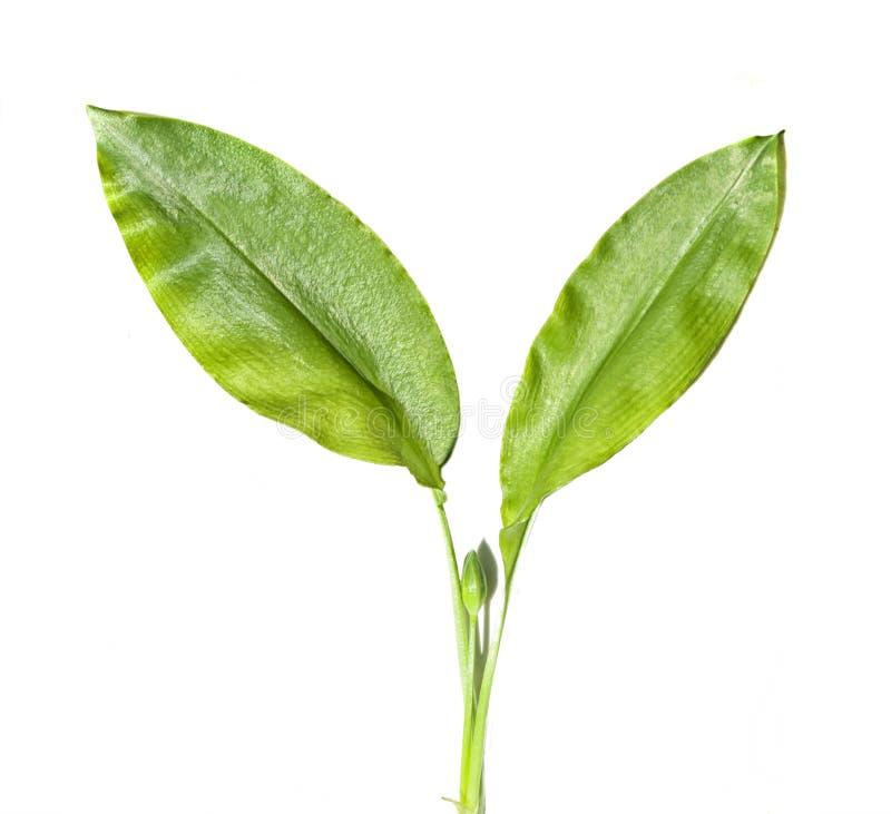Allium ursinum, που απομονώνεται στοκ εικόνες με δικαίωμα ελεύθερης χρήσης
