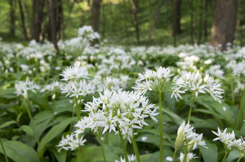 Allium ursinum bears garlic in bloom sunlight stock photo image download allium ursinum bears garlic in bloom sunlight stock photo image of mightylinksfo