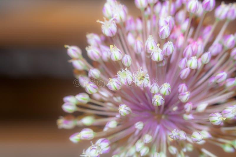 Alliumblomma arkivbilder