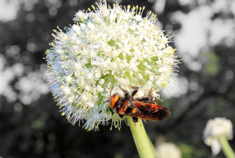 Alliumblomma med den kolossala getingen royaltyfri fotografi