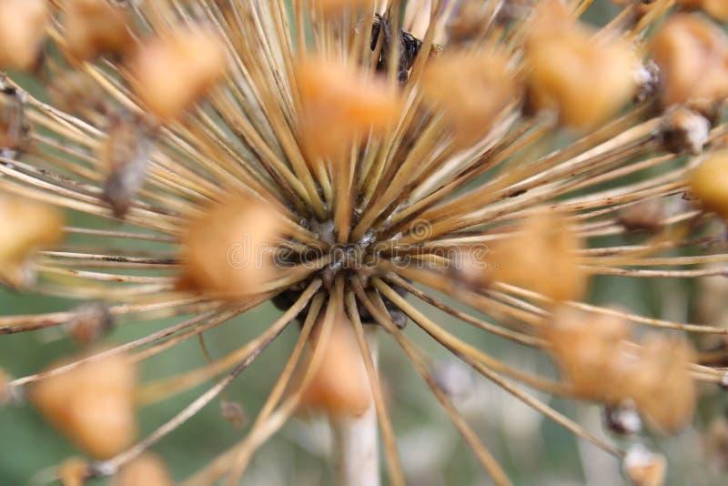 Alliumexplosion arkivfoton