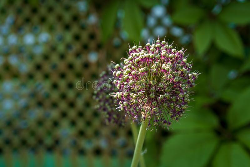 Alliumhollandicum umbels met zadenclose-up royalty-vrije stock afbeeldingen