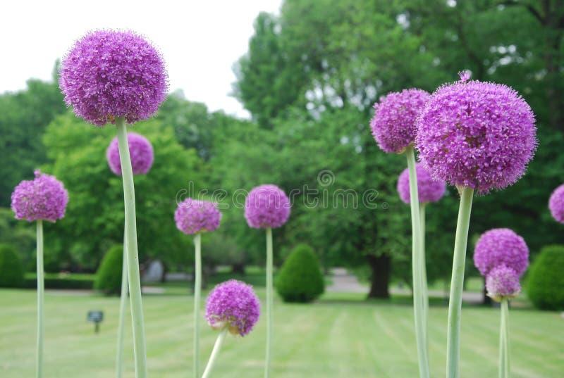Alliumkulor royaltyfri foto