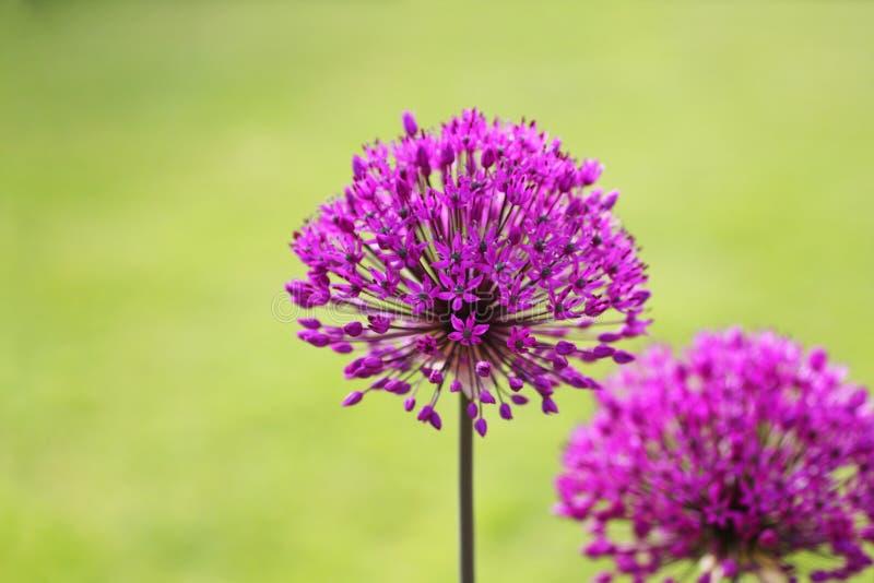Alliums zdjęcie royalty free