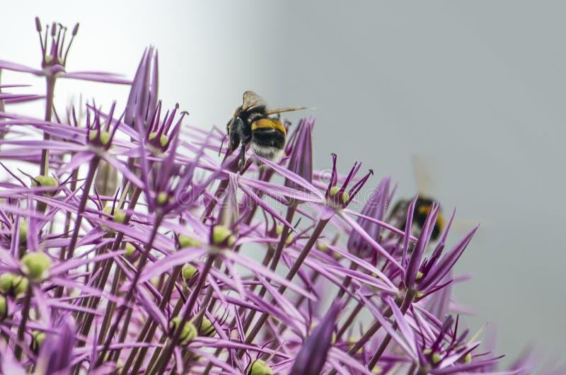 Alliumsfär med bin fotografering för bildbyråer