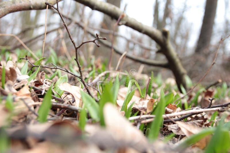 Alliumursinum stock afbeelding