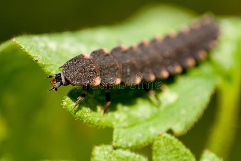 Allmänningen glöd-avmaskar skalbaggen på ett grönt blad Glöd avmaskar den naturliga miljön Den kvinnliga eldflugan är en gemensam royaltyfri fotografi