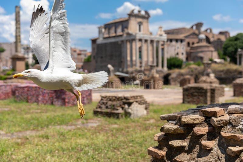 Allocation des places méditerranéenne de mouette sur des pierres du forum romain à Rome, Italie photographie stock libre de droits