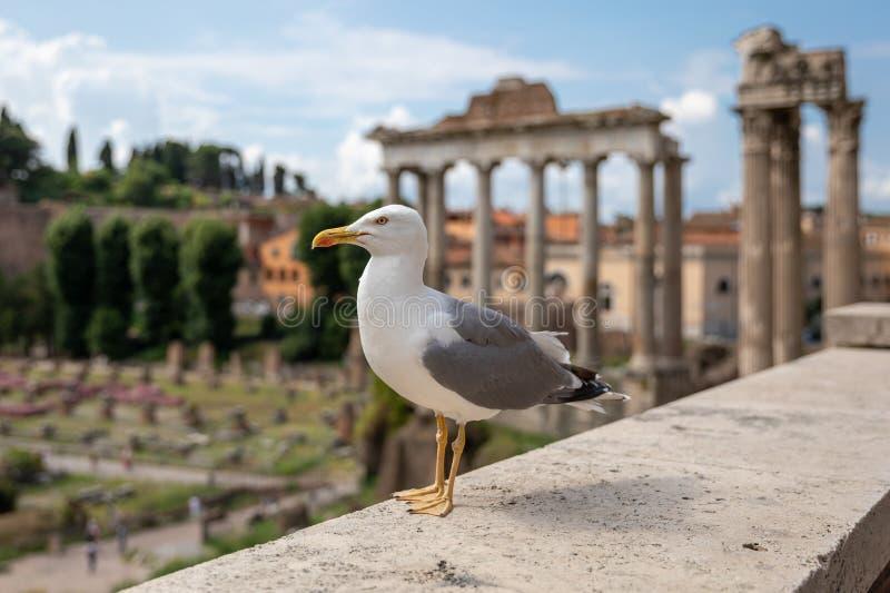 Allocation des places méditerranéenne de mouette sur des pierres du forum romain à Rome, Italie photo stock