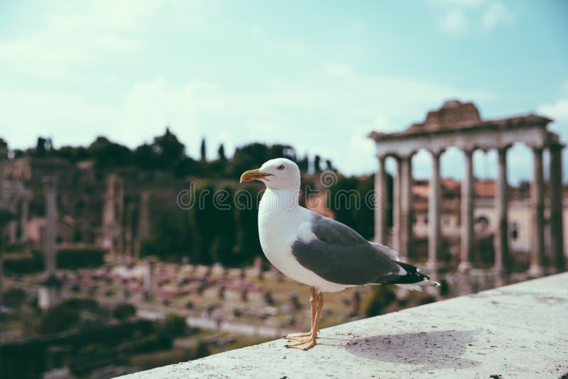 Allocation des places méditerranéenne de mouette sur des pierres du forum romain à Rome, Italie image libre de droits