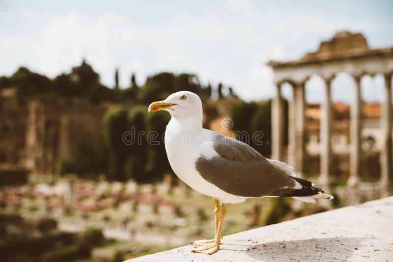 Allocation des places méditerranéenne de mouette sur des pierres du forum romain à Rome, Italie images libres de droits