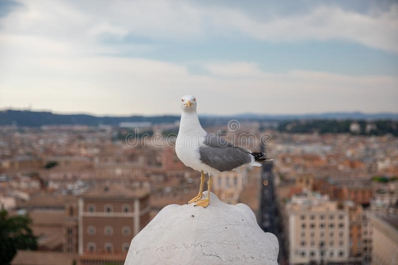 Allocation des places m?diterran?enne de mouette sur le toit de Vittoriano ? Rome, Italie images stock