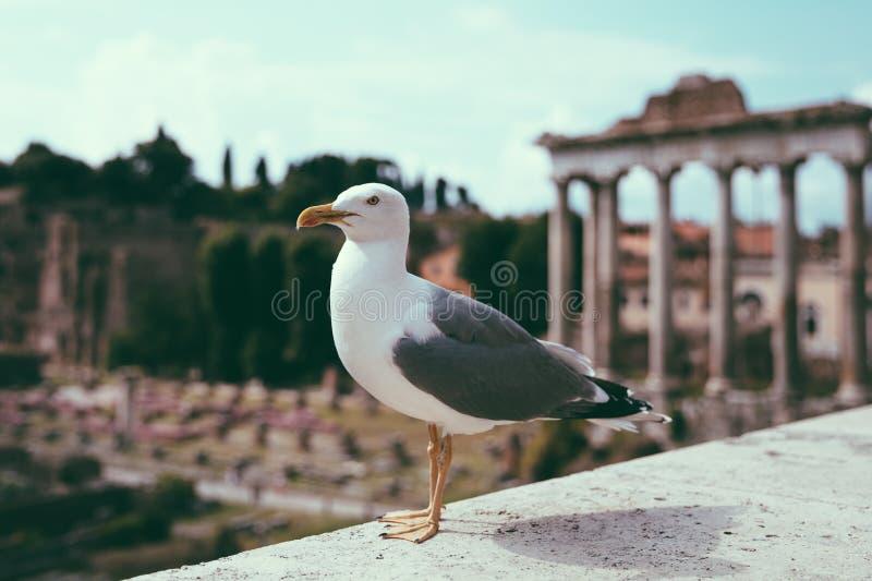 Allocation des places m?diterran?enne de mouette sur des pierres du forum romain ? Rome, Italie photographie stock libre de droits